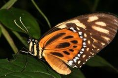 3热带的蝴蝶 免版税库存照片