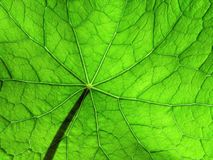 3片叶子旱金莲属植物 库存图片