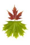 3片叶子槭树 免版税库存图片