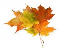 3片组叶子槭树 库存照片