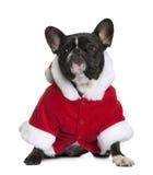 3牛头犬外套法国老圣诞老人年 库存照片