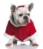 3牛头犬外套法国老圣诞老人年 免版税库存图片
