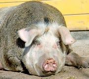 3猪圈 库存照片