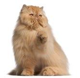 3猫老波斯年 图库摄影