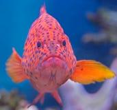 3珊瑚石斑鱼 图库摄影