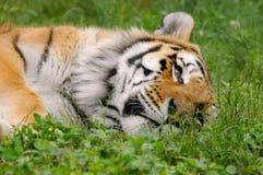 3疲倦的老虎 免版税库存照片