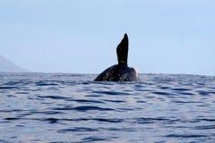 3破坏的正确的s鲸鱼 库存图片