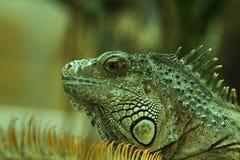 3绿色鬣鳞蜥纵向 库存照片