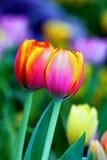 3美丽的新鲜的庭院郁金香 图库摄影