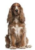 3美国斗鸡家老坐的西班牙猎狗年 库存照片