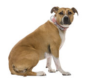3美国老斯塔福郡狗年 免版税库存图片