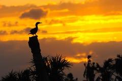 3群美洲蛇鸟日落 库存照片
