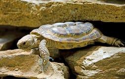 3草龟 库存图片
