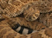 3菱纹背响尾蛇 免版税库存图片