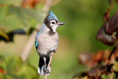 3蓝色尖嘴鸟 免版税图库摄影