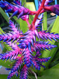 3蓝色bromeliad花 库存图片