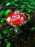 3蘑菇 图库摄影