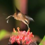 3蜂鸟 库存图片