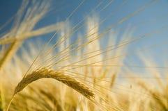3金黄成熟麦子 免版税库存照片