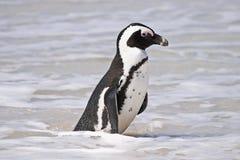 3非洲海滩冰砾企鹅 免版税库存图片
