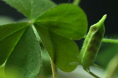 3颗种子三叶草 库存图片