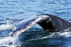 3驼背尾标鲸鱼 库存图片