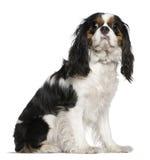 3骑士查尔斯国王老西班牙猎狗年 免版税库存照片