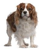 3骑士查尔斯国王老西班牙猎狗年 库存图片