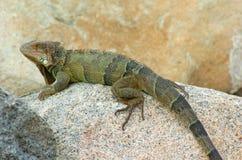 3鬣鳞蜥 免版税库存图片