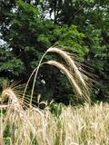3麦子冬天 库存照片