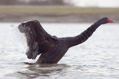 3黑天鹅 免版税库存照片
