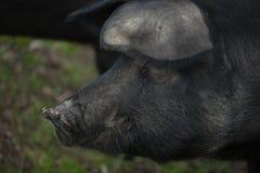 3黑色利比亚猪 免版税库存照片