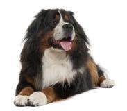 3 år för berg för bernese hund liggande gammala Arkivbild