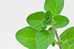 3 świeży grecki zielarski oregano Fotografia Stock