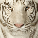 3 άσπρα έτη τιγρών Στοκ εικόνα με δικαίωμα ελεύθερης χρήσης