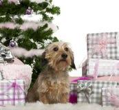3 έτη συνεδρίασης Χριστουγέννων dachshund παλαιά Στοκ Φωτογραφίες