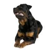 3 έτη rottweiler Στοκ φωτογραφίες με δικαίωμα ελεύθερης χρήσης