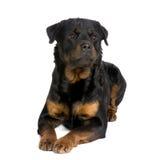 3 έτη rottweiler Στοκ εικόνες με δικαίωμα ελεύθερης χρήσης
