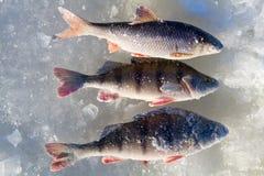 3 αλιεύοντας πέρκα Στοκ Εικόνα