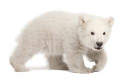 3 αντέχουν cub το πολικό ursus μηνών maritimus Στοκ εικόνες με δικαίωμα ελεύθερης χρήσης