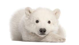 3 αντέχουν cub το πολικό ursus μηνών maritimus Στοκ Εικόνα