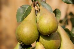3 αχλάδια επιλέγουν έτοιμ&om στοκ φωτογραφία με δικαίωμα ελεύθερης χρήσης