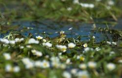 3 βάτραχος Perez s Στοκ φωτογραφίες με δικαίωμα ελεύθερης χρήσης