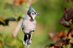 3 μπλε jay Στοκ φωτογραφία με δικαίωμα ελεύθερης χρήσης