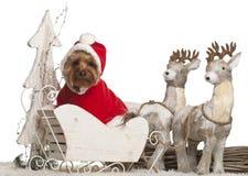 3 παλαιά έτη Γιορκσάιρ τεριέ Χριστουγέννων Στοκ Εικόνα