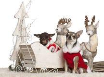 3 παλαιά έτη ελκήθρων Χριστουγέννων chihuahuas Στοκ Εικόνες
