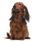 3 παλαιά έτη συνεδρίασης dachshund Στοκ Φωτογραφία