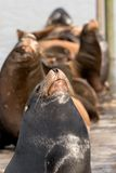 3 υπερόπτες θάλασσας λιονταριών Στοκ φωτογραφία με δικαίωμα ελεύθερης χρήσης