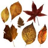 3 φύλλα Βιρτζίνια Στοκ φωτογραφία με δικαίωμα ελεύθερης χρήσης
