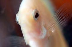 3 ψάρια discus Στοκ εικόνες με δικαίωμα ελεύθερης χρήσης